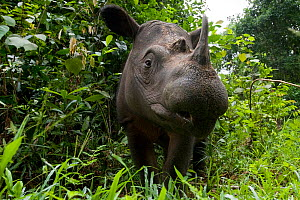 Head portrait of Sumatran rhino (Dicerorhinus sumatrensis) Captive-Sumatran Rhino Sanctuary, within Way Kambas National Park, Lampung Province, southern Sumatra, Indonesia  -  Mark Carwardine