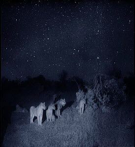 Group of lions (Panthera leo) at night, Masai Mara, Kenya. Photographed using 'Starlight Camera' technology without artificial lighting. - Martin Dohrn