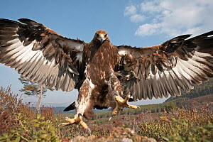 RF- Golden eagle (Aquila chrysaetos) sub-adult male (two years) flying down to take prey, Cairngorms National Park, Scotland, UK, captive. (This image may be licensed either as rights managed or royal... - Peter Cairns