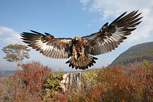 Golden eagle (Aquila chrysaetos) sub-adult male (two years) flying down to take prey, Cairngorms National Park, Scotland, UK, captive  -  Peter Cairns