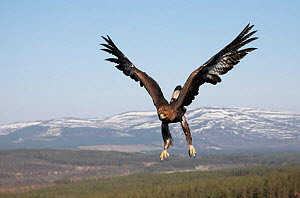 Golden eagle (Aquila chrysaetos) sub-adult male (two years) in flight over Cairngorms National Park, Scotland, UK, captive  -  Peter Cairns