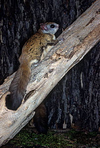 Northern Flying Squirrel (Glaucomys sabrinus), North America.  -  Visuals Unlimited