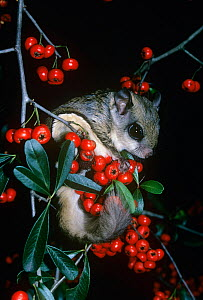 Southern Flying Squirrel (Glaucomys volans), North America.  -  Visuals Unlimited