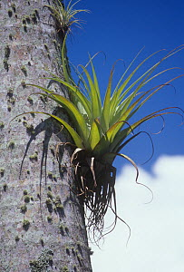Epiphytic Bromeliads growing on a tropical Palm tree trunk.  -  Visuals Unlimited