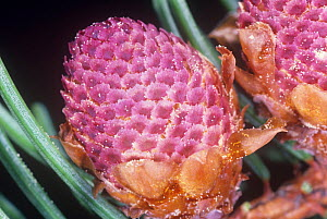 Male Norway Spruce cone with pollen grains (Picea abies). - Visuals Unlimited