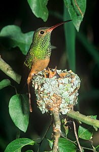 Buff-bellied Hummingbird (Amazilia yucatanensis) at its nest with young, North America. Note the carefully camouflaged nest and the spider webs and lichens used in its construction.  -  Visuals Unlimited