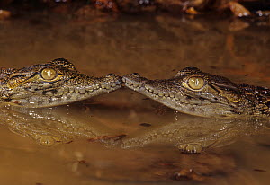 Two baby Nile Crocodiles (Crocodylus niloticus), East Africa.  -  Visuals Unlimited
