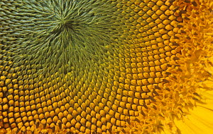 Close-up of a Sunflower with ripening seeds (Helianthus annuus). - Visuals Unlimited