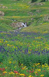 Rocky Mountain alpine meadow of wildflowers such as Rosy Paintbrush, Orange Sneezeweed, and Alpine Larkspur, White River National Forest, Colorado, USA.  -  Visuals Unlimited
