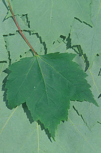 Difference in chlorophyll content between the darker upper surface of a Red Maple leaf and the lighter lower surfaces (Acer rubrum), North America.  -  Visuals Unlimited