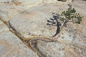 Lodgepole Pine (Pinus contorta murrayana) growing out of a crack in granite rocks, Sierra Nevada Mountains, California, USA. - Visuals Unlimited