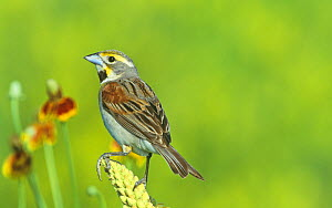 Male Dickcissel (Spiza americana) on Mullein (Verbascum thapsus), North America.  -  Visuals Unlimited