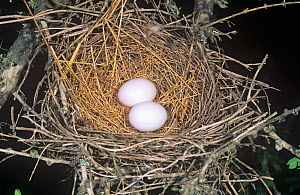 Common Ground Dove nest with two eggs (Columbina passerina) Texas, USA. - Visuals Unlimited