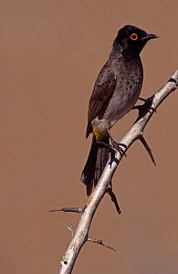 Red-eyed Bulbul (Pycnonotus nigricans), Namibia, Africa. - Visuals Unlimited
