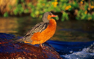 Female Torrent Duck standing in a stream (Merganetta armata), Argentina, South America.  -  Visuals Unlimited