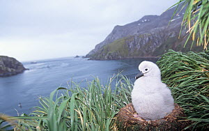 Grey-headed Albatross chick in its nest (Thalassarche chrysostoma), South Georgia Island. - Visuals Unlimited