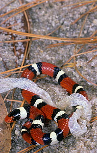 A Scarlet Kingsnake that has just shed its skin (Lampropeltis doliata), North America. - Visuals Unlimited