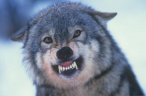 Gray Wolf (Canis lupus) snarling to establish or maintain a position in its pack, North America.  -  Visuals Unlimited