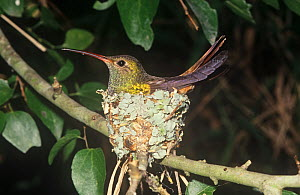 Buff-bellied Hummingbird on its nest (Amazilia yucatanensis) North America. Note the lichens used in construction of the nest.  -  Visuals Unlimited