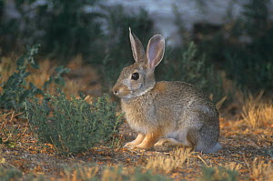 Mountain Cottontail Rabbit (Sylvilagus nuttallii), North America.  -  Visuals Unlimited