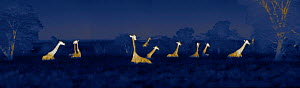 Herd of giraffes (Giraffa camelopardalis) resting at night, Masai Mara, Kenya. Image taken at night using thermal camera technology, with no artificial light. - Martin Dohrn