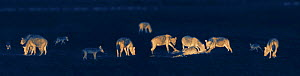Pack of hyenas (Crocuta crocuta) feeding on prey at night with black-back jackals (Canis mesomelas). Image taken at night using thermal camera technology, with no artificial light.  -  Martin Dohrn