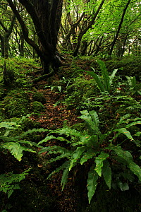 Yew tree (Taxus baccata) and  Hart's tongue ferns (Phyllitis scolopendrium) in temperate forest, Killarney National Park, County Kerry, Republic of Ireland. Europe - Alan Watson