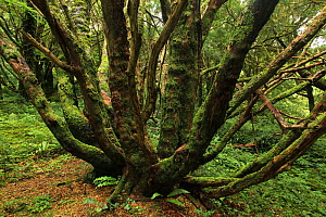 Yew tree (Taxus baccata) in temperate forest, Killarney National Park, County Kerry, Republic of Ireland, Europe July 2009 - Alan Watson