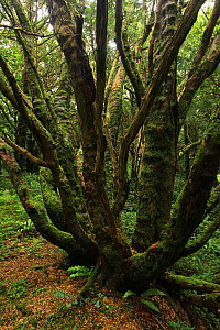 Yew tree (Taxus baccata) in temperate forest, Killarney National Park, County Kerry, Republic of Ireland, Europe - Alan Watson