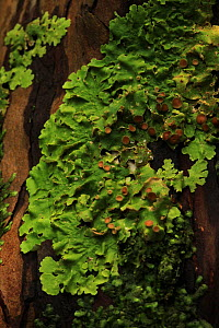 Lungwort (Lobaria virens) on a yew tree (Taxus baccata) in temperate forest, Killarney National Park, County Kerry, Republic of Ireland, Europe  -  Alan Watson