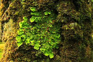 Lungwort (Lobaria virens) on Oak tree (Quercus petraea) temperate forest, Tomies Wood, Killarney National Park, County Kerry, Republic of Ireland, Europe  -  Alan Watson