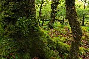 Heart-shaped patch of lungwort (Lobaria virens) on the moss-covered trunk of Oak tree (Quercus petraea) and Holly trees (Ilex aquifolium) temperate forest, Tomies Wood, Killarney National Park, County... - Alan Watson