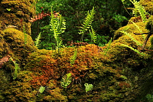 Polypody ferns (Polypodium vulgare) and Moss on the trunk of Oak tree (Quercus petraea) Tomies Wood, Killarney National Park, County Kerry, Republic of Ireland, Europe  -  Alan Watson