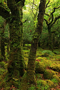 Moss-covered Oak trees (Quercus petraea) and boulders, Tomies Wood, Killarney National Park, County Kerry, Republic of Ireland, Europe - Alan Watson