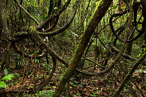 View of the forest floor with twisted vines,  Ranomafana National Park, Madagascar  -  Alan Watson