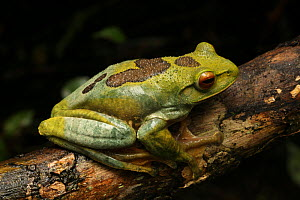 Profile portrati of Female Giant tree frog (Boophis albilabris) sitting on tree branch, Ranomafana National Park, Madagascar  -  Alan Watson