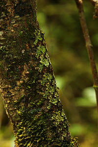Camouflaged caterpillar on a tree trunk in rainforest at 1,200 metres, Ranomafana National Park, Madagascar  -  Alan Watson