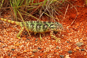 Female Oustalet's chameleon (Furcifer oustaleti) walking on ground, near Ihosy, Madagascar  -  Alan Watson