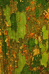 Detail of trunk of Romby tree (Commiphora mahafaliensis) in tropical deciduous forest, Zombitse-Vohibasia National Park, Madagascar  -  Alan Watson