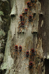 Assassin bugs (Platymeris sp) on tree trunk in tropical deciduous forest, Zombitse-Vohibasia National Park, Madagascar  -  Alan Watson
