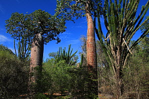 Baobab trees (Adansonia rubrostipa) and Sogno (Didierea madagascariensis) in spiny forest, Reniala Reserve, Madagascar  -  Alan Watson