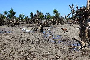 Herd of domestic goats among degraded mangroves, North of Mangily, Madagascar January 2009  -  Alan Watson