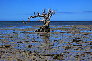 Dead mangrove North of Mangily, Madagascar January 2009  -  Alan Watson