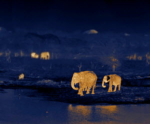Indian elephants (Elephas maximus) at night, Yala National Park, Sri Lanka. Image taken using thermal camera technology with no artificial light. - Martin Dohrn
