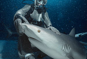 Shark handler wearing chain mail suit holding Caribbean reef shark (Carcharhinus perezi) in hypnotic trance. Caribbean sea Model released.  -  Jeff Rotman