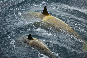 Killer whale (Orcinus orca) female and young at surface, Antarctica, February - Tim Laman