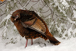 Female Wild turkey (Meleagris gallopavo) in snow, Lexington, Massachusetts, USA, March - Tim Laman