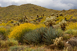 Flowering Brittlebush (Encelia farinosa) with Cholla cactus (Opuntia sp) and other desert plants. Anza-Borrego Desert State Park, California, USA. March 2005 - Tim Laman