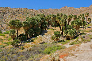 Palm oasis in the desert of Anza-Borrego Desert State Park, San Diego County, California, USA, April 2005 - Tim Laman