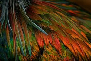 Close up of feathers of the Nicobar pigeon (Caloenas nicobarica) native to islands of SE Asia and New Guinea region, captive - Tim Laman